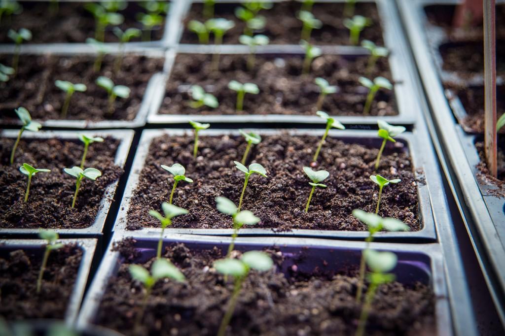 seedlings in starter pots
