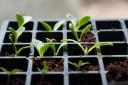 Artichokes seedlings