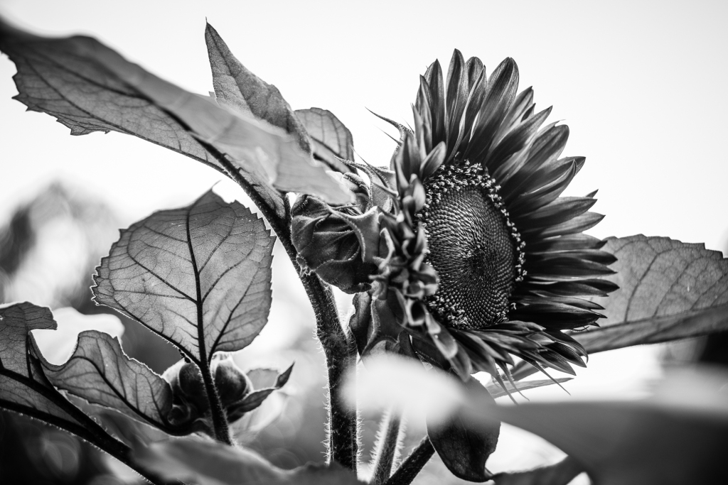 sorrells photography sunflower