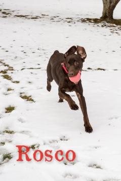Brown lab mix dog